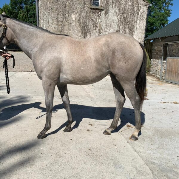 Greysful Storm (Yearling)